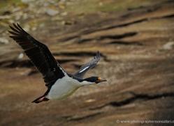 king-cormorant-falkland-islands-4929-copyright-photographers-on-safari-com