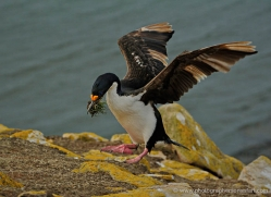 king-cormorant-falkland-islands-4931-copyright-photographers-on-safari-com