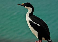 king-cormorant-falkland-islands-4933-copyright-photographers-on-safari-com