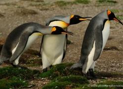 king-penguin-falkland-islands-4834-copyright-photographers-on-safari-com