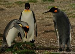 king-penguin-falkland-islands-4835-copyright-photographers-on-safari-com