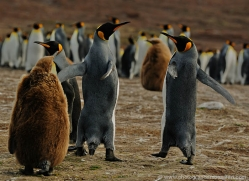 king-penguin-falkland-islands-4836-copyright-photographers-on-safari-com