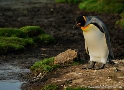 king-penguin-falkland-islands-4837-copyright-photographers-on-safari-com