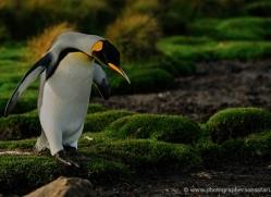 king-penguin-falkland-islands-4838-copyright-photographers-on-safari-com