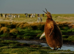 king-penguin-falkland-islands-4840-copyright-photographers-on-safari-com