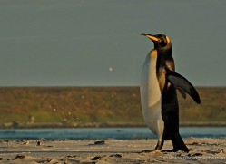 king-penguin-falkland-islands-4843-copyright-photographers-on-safari-com