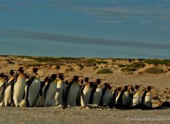 king-penguin-falkland-islands-4844-copyright-photographers-on-safari-com