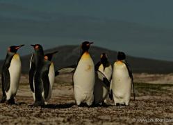 king-penguin-falkland-islands-4845-copyright-photographers-on-safari-com
