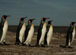 king-penguin-falkland-islands-4847-copyright-photographers-on-safari-com