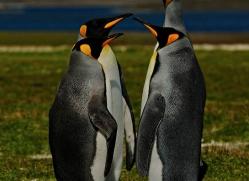 king-penguin-falkland-islands-4851-copyright-photographers-on-safari-com