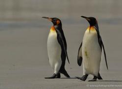 king-penguin-falkland-islands-4853-copyright-photographers-on-safari-com