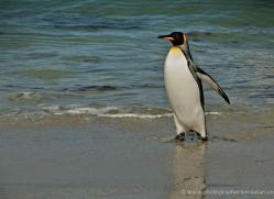 king-penguin-falkland-islands-4856-copyright-photographers-on-safari-com