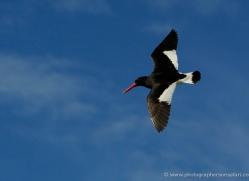 magellanic-oystercatcher-falkland-islands-4921-copyright-photographers-on-safari-com