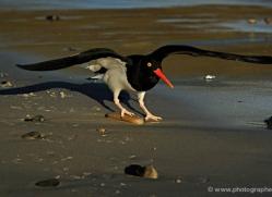 magellanic-oystercatcher-falkland-islands-4925-copyright-photographers-on-safari-com