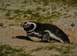 magellanic-penguin-falkland-islands-4828-copyright-photographers-on-safari-com