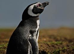 magellanic-penguin-falkland-islands-4830-copyright-photographers-on-safari-com