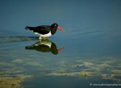 megallanic-oystercatcher-falkland-islands-4927-copyright-photographers-on-safari-com