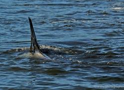orca-killer-whale-falkland-islands-5006-copyright-photographers-on-safari-com