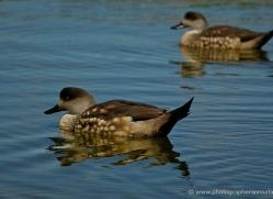 patagonian-crested-duck-falkland-islands-5010-copyright-photographers-on-safari-com