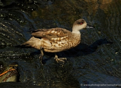 patagonian-crested-duck-falkland-islands-5011-copyright-photographers-on-safari-com