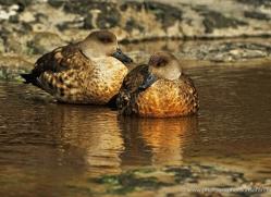 patagonian-crested-duck-falkland-islands-5015-copyright-photographers-on-safari-com