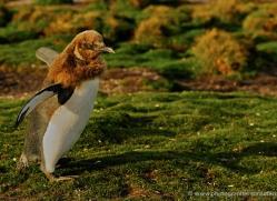rockhopper-penguin-falkland-islands-4789-copyright-photographers-on-safari-com