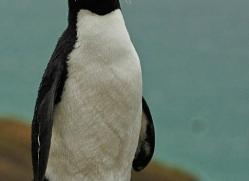 rockhopper-penguin-falkland-islands-4792-copyright-photographers-on-safari-com