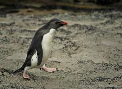 rockhopper-penguin-falkland-islands-4793-copyright-photographers-on-safari-com