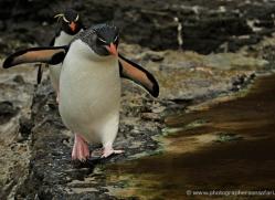 rockhopper-penguin-falkland-islands-4795-copyright-photographers-on-safari-com