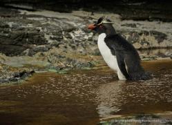 rockhopper-penguin-falkland-islands-4800-copyright-photographers-on-safari-com