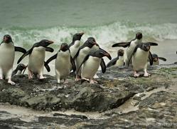 rockhopper-penguin-falkland-islands-4803-copyright-photographers-on-safari-com