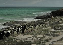 rockhopper-penguin-falkland-islands-4804-copyright-photographers-on-safari-com