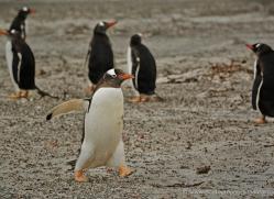 rockhopper-penguin-falkland-islands-4805-copyright-photographers-on-safari-com