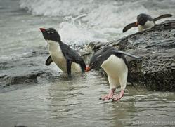 rockhopper-penguin-falkland-islands-4807-copyright-photographers-on-safari-com