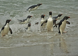 rockhopper-penguin-falkland-islands-4808-copyright-photographers-on-safari-com