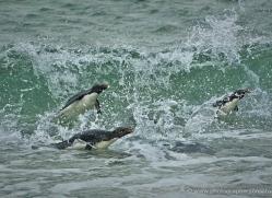 rockhopper-penguin-falkland-islands-4809-copyright-photographers-on-safari-com