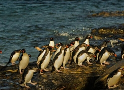 rockhopper-penguin-falkland-islands-4813-copyright-photographers-on-safari-com