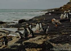 rockhopper-penguin-falkland-islands-4816-copyright-photographers-on-safari-com