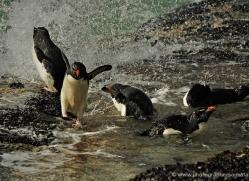 rockhopper-penguin-falkland-islands-4821-copyright-photographers-on-safari-com