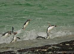 rockhopper-penguin-falkland-islands-4822-copyright-photographers-on-safari-com