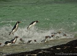 rockhopper-penguin-falkland-islands-4823-copyright-photographers-on-safari-com