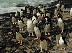 rockhopper-penguin-falkland-islands-4824-copyright-photographers-on-safari-com