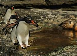rockhopper-penguin-falkland-islands-4825-copyright-photographers-on-safari-com