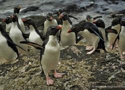 rockhopper-penguin-falkland-islands-4826-copyright-photographers-on-safari-com