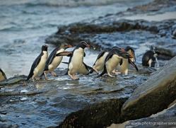 rockhopper-penguin-falkland-islands-4827-copyright-photographers-on-safari-com