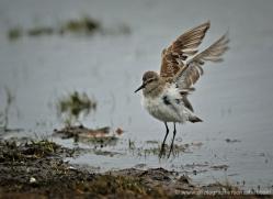 sandpiper-falkland-islands-5007-copyright-photographers-on-safari-com