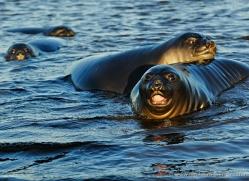 seal-falkland-islands-5016-copyright-photographers-on-safari-com