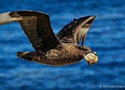 skua-falkland-islands-4971-copyright-photographers-on-safari-com