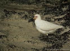 snowy-sheathbill-falkland-islands-5024-copyright-photographers-on-safari-com