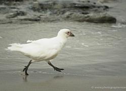 snowy-sheathbill-falkland-islands-5026-copyright-photographers-on-safari-com